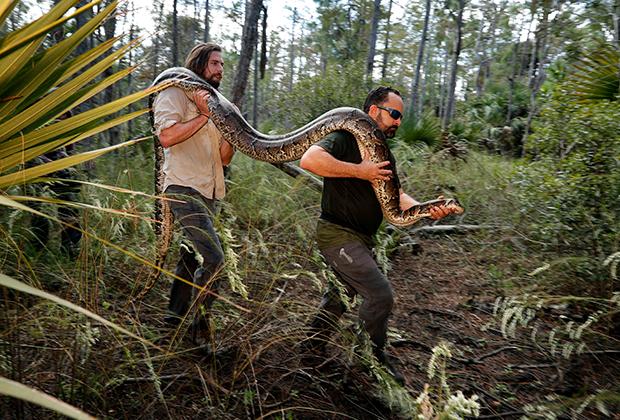 Флоридские змееловы с пойманным четырехметровым питоном