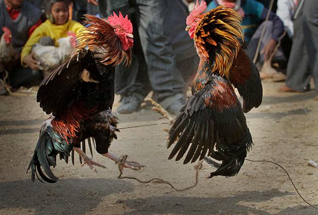 Петушиные бои в Индии
