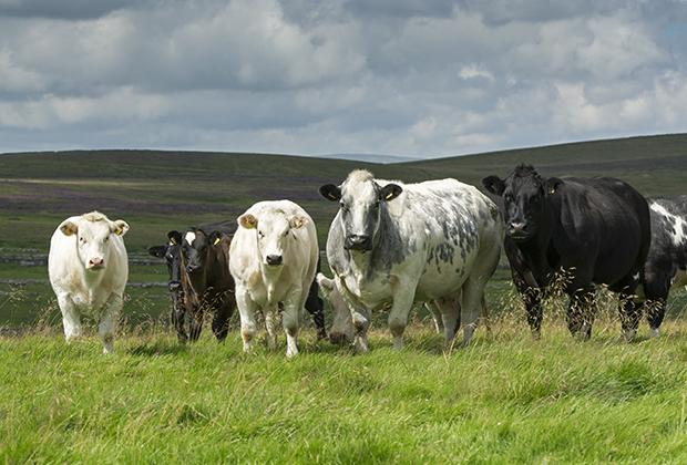 Стадо коров в Северном Йоркшире
