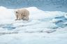 Нередко туры организуются для наблюдения за полярными животными в естественной среде их обитания — моржами, тюленями, песцами, белыми медведями, северными оленями и многочисленными птицами. Порой условия путешествий позволяют приблизиться к животным на максимально близкое расстояние.