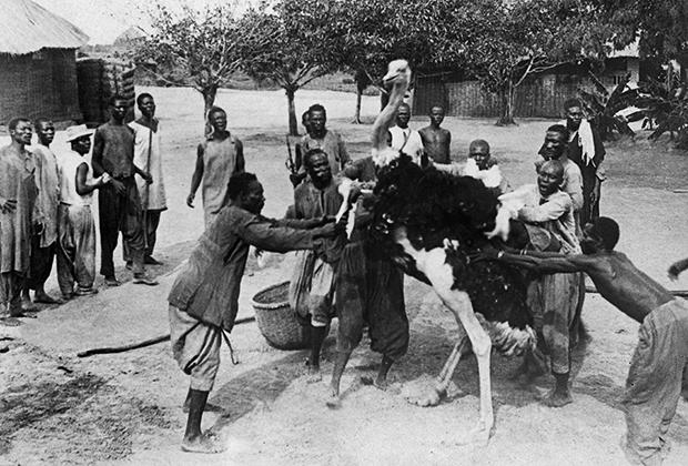 Африканская страусиная ферма, 1911 год