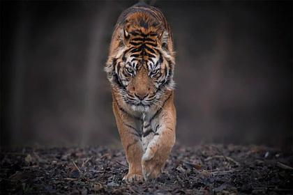 В России спасли умиравшего от голода и обморожения редчайшего тигра: Общество: Россия: Lenta.ru