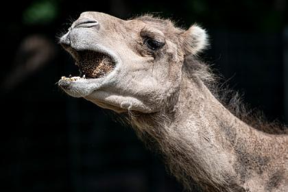 Агрессивный верблюд укусил в лицо смотрителя зоопарка