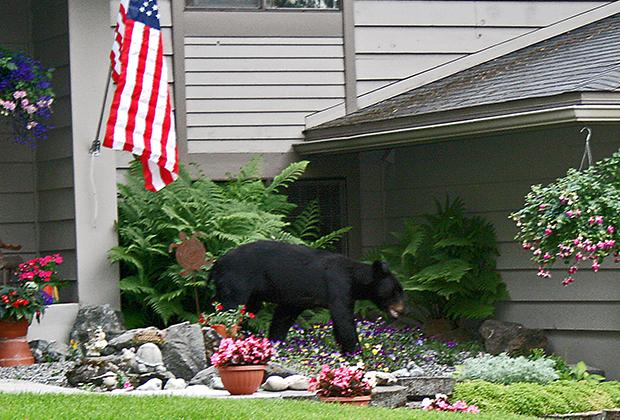Черный медведь на лужайке дома