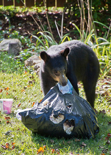 Черный медведь и мусорный мешок