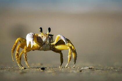 Ученый выдвинул теорию об эволюции всего живого в крабов