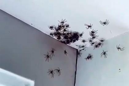 Десятки крупных пауков заполонили дом женщины и попали на видео