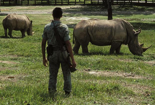 Носороги в зверинце Эскобара, 1989 год