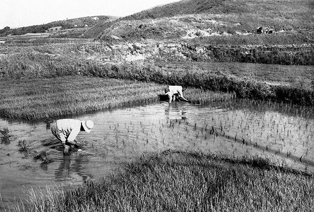 Рисовая плантация на юге Корейского полуострова в 1947 году