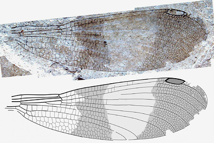 Обнаружена ранее неизвестная группа насекомых