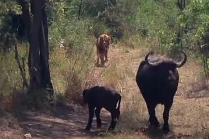 Буйволица спасла детеныша от леопарда и пустилась в бегство от льва