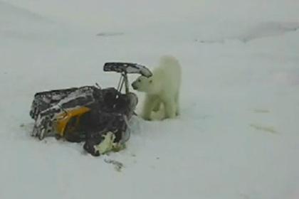Белый медведь попытался угнать снегоход и попал на видео