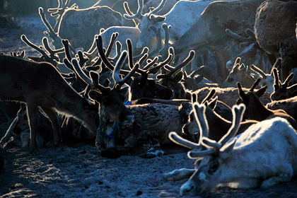 На Ямале стало больше северных оленей