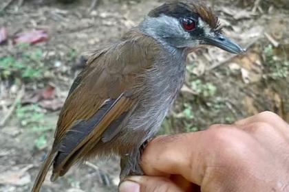 Считавшаяся вымершей птица найдена впервые за 170 лет