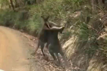 Гигантские кенгуру устроили боксерский поединок и попали на видео