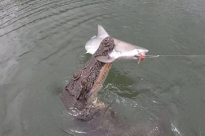 Голодный гребнистый крокодил украл пойманную рыбаками акулу и попал на видео