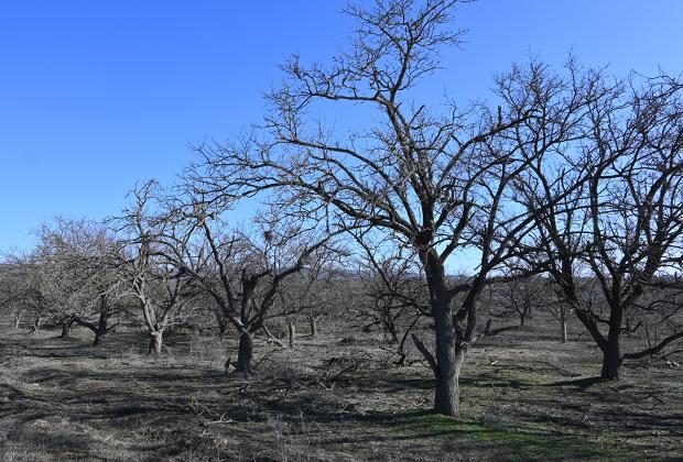 Следы войны: фруктовый сад, побитый снарядами и в 1995-м, и в 2000 годах