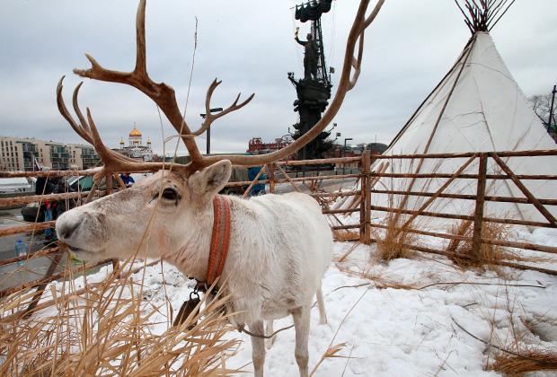 Олень на празднике коренных народов Сибири в парке «Музеон» в Москве