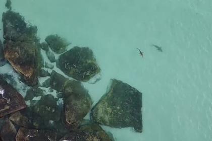 Любопытная акула погналась за гребнистым крокодилом и попала на видео