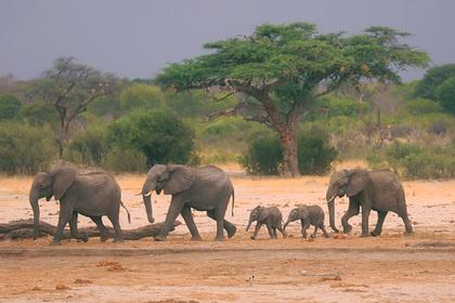 Зимбабве для борьбы с экономическим кризисом решило убивать слонов