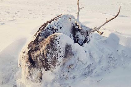 Ученые сообщили о массовой гибели оленей на Ямале