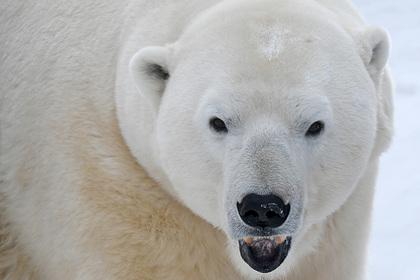 «Роснефть» провела первую в 2021 году экспедицию по изучению белых медведей