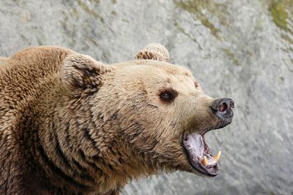 В России медведь убил мужчину и скрылся в неизвестном направлении