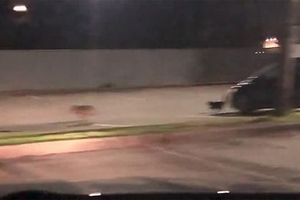 Кот прогнал койота на глазах у полицейского патруля и попал на видео