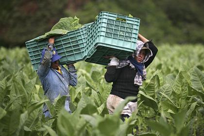 Производителя Kent и «Ява» заподозрили в детском рабстве