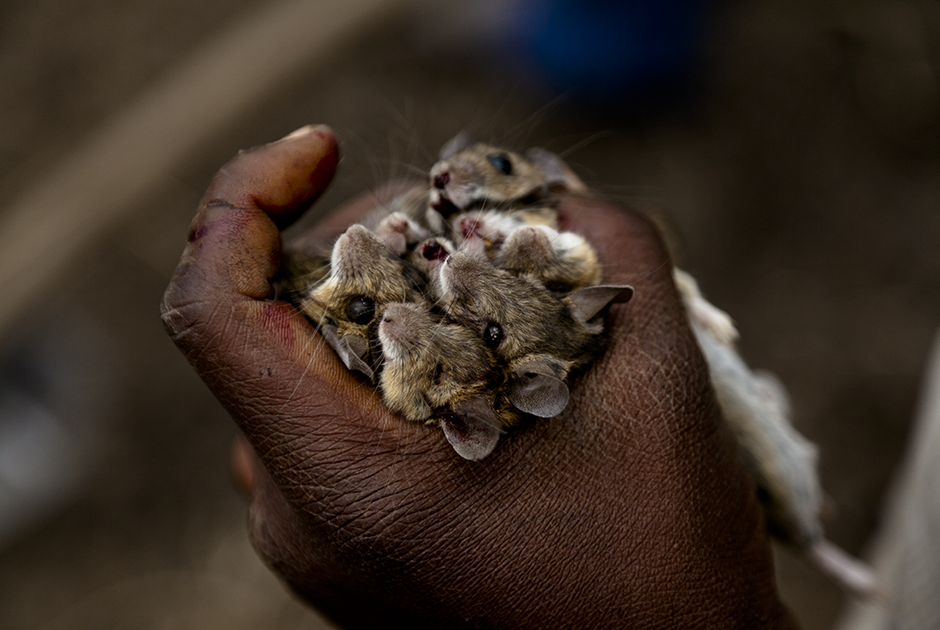 Полевые мыши меньше крыс, но их мясо — тоже мясо