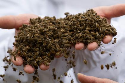В российском регионе погибли миллионы пчел