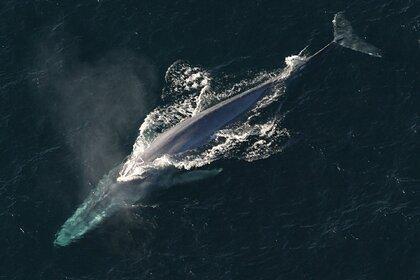 В Индийском океане нашли популяцию вымирающих китов по их песням