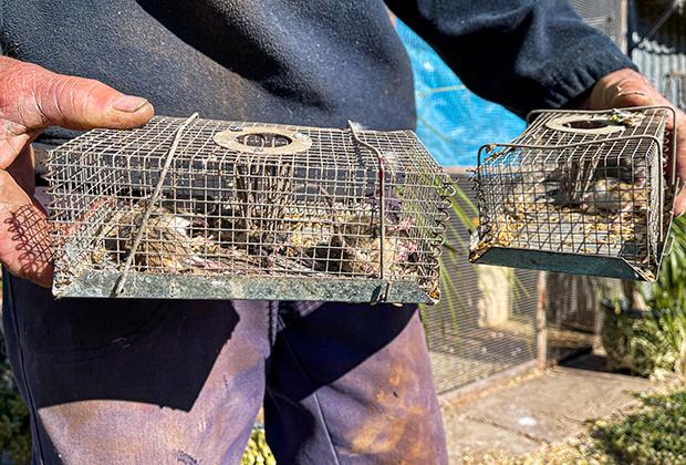 Мыши, попавшиеся в ловушки на ферме в районе австралийского города Гилгандра, штат Новый Южный Уэльс