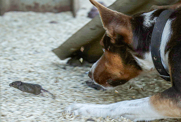 Пес-мышелов гонится за мышью на ферме в районе австралийского города Тоттенем, штат Новый Южный Уэльс