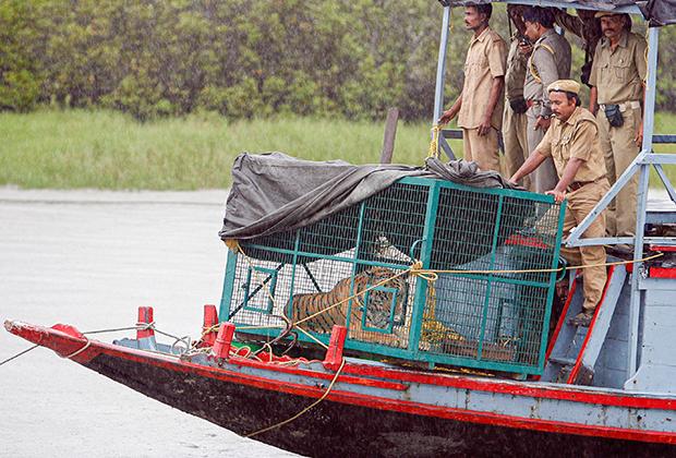Сотрудники индийского лесного ведомства везут тигра, пойманного в Сундарбане