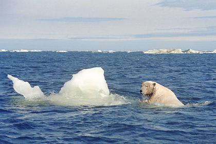 На Чукотке пересчитали белых медведей