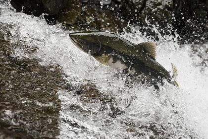 Норвежские рыбаки запаниковали из-за нереста русской горбуши