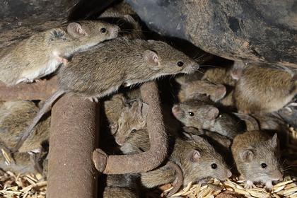 Тюрьму эвакуировали из-за нашествия мышей