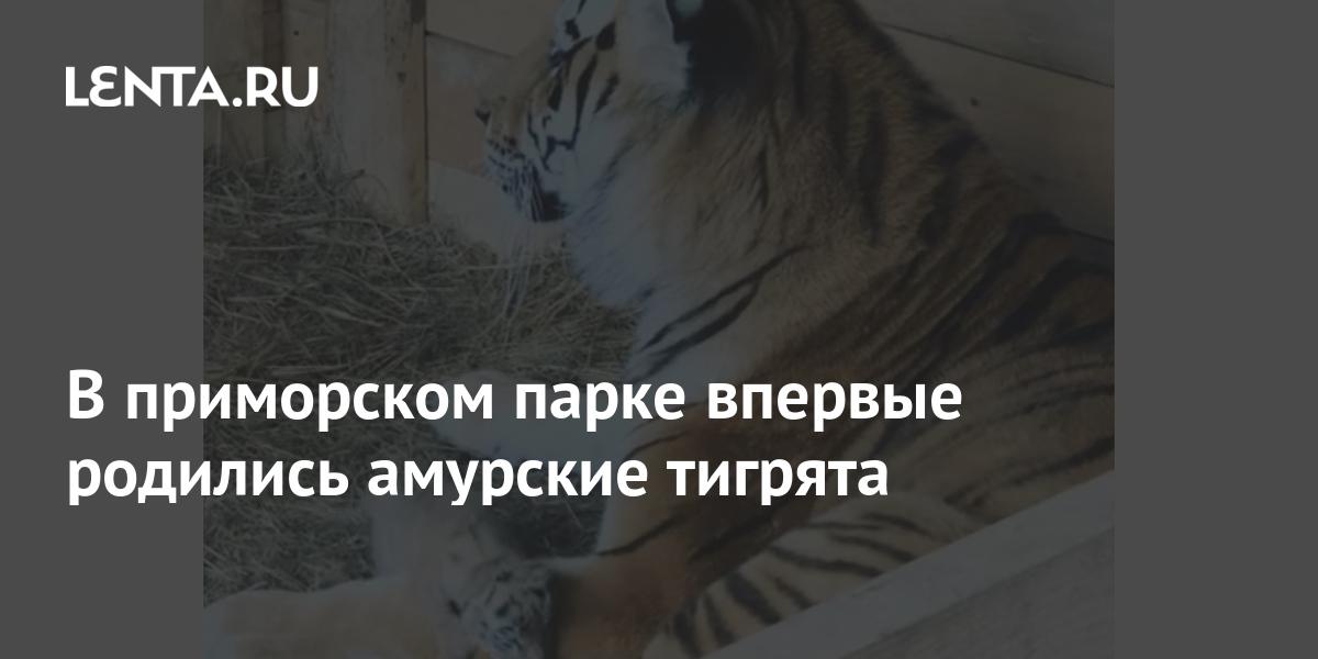share dae9b894d388a9551bf4afe84fde99dc В приморском парке впервые родились амурские тигрята