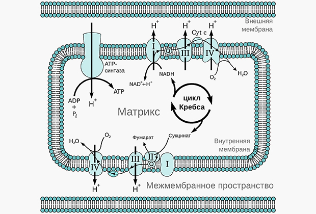 Окислительное фосфорилирование в митохондриях