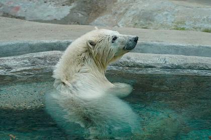 Спасенная в Красноярском крае белая медведица отправится в Екатеринбург