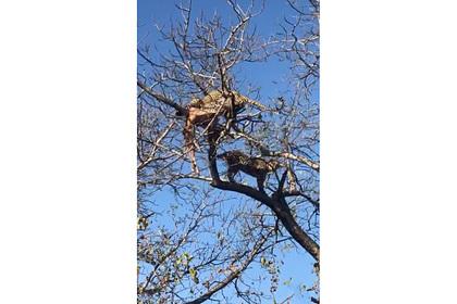 Леопард отобрал у самки добычу на глазах у гиен и попал на видео