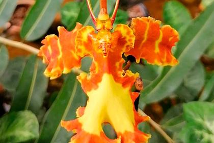 В ботаническом саду Томского университета впервые зацвела «орхидея-инопланетянин»