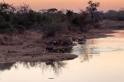 Антилопа перехитрила 16 гиеновидных собак, стадо бегемотов и крокодилов