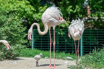 В Ростове впервые за десять лет появились птенцы фламинго
