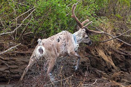 Ученые в Арктике надели спутниковые ошейники на плывущих оленей