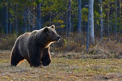 Медведь напал на двух лесников в тайге