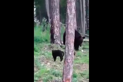 Домашний кот Вася дал отпор дикому медведю и попал на видео