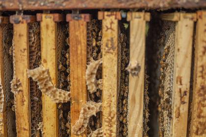 Пара обнаружила 450 тысяч пчел в стенах дома и потратила состояние на их отлов