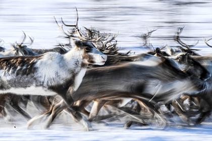 На Таймыре исследователи засняли переправу 70 тысяч оленей через реку